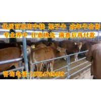 肉牛养殖基地 肉牛养殖 肉牛养殖行情 山东肉牛养殖场