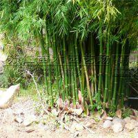 园林绿化青皮竹批发价格
