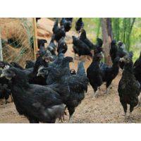散养乌鸡养殖