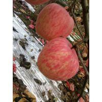 红富士苹果信息网 红富士苹果产地在哪里