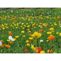 宿根花卉白玉簪,紫玉簪,金边玉簪,大花萱草出售