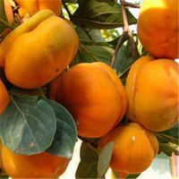 融熹供应高质量柿子树苗 结果早 价格公道 成活率高 甜柿子苗