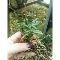 浙江品种红杆软脚铁皮石斛驯化苗,一代有机苗培育种植,成活率高