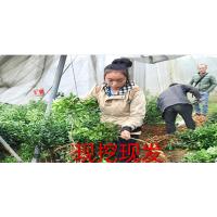 内江柑橘苗供应批发|内江网上大量柑橘苗供应在哪|内江柑橘苗供应价格