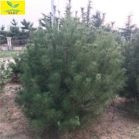 白皮松基地 山东3米-6米白皮松 规格齐全 成活率高 现场看树挖树
