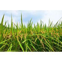 辽宁恒辉新能源强调稻农必看的提产方法