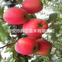 美国8号苹果树苗价格 美国8号苹果苗品种介绍