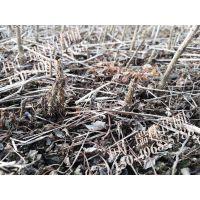 刺龙苞苗,刺老包树苗,树头菜小苗 一年生种播苗 成活率高