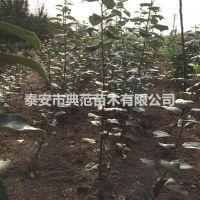 鲁丽苹果苗价格 鲁丽苹果树苗品种介绍