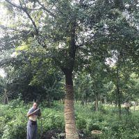精品朴树原生冠低价格精品树型批量供应存活率高