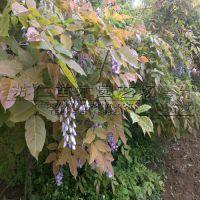出售1米高藤本植物紫藤树苗价格