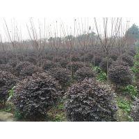 成都崇德园林长期供应低价精品红花继木球 成都红花继木球
