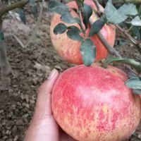 1公分果石榴树苗批发 泰山红 软籽石榴树苗价格低廉 山东果树苗种植基地