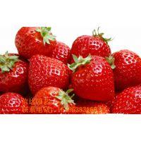 小白草莓苗什么时候种植好?