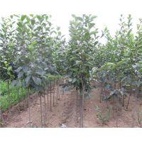 富有柿子苗多少钱一株 5公分富有甜柿子树苗