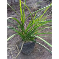 崂峪苔草 青绿苔草批发 提供施工种植养护服务