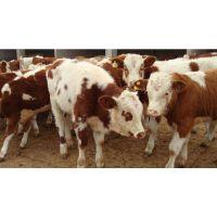 一头西门塔尔种牛的价格是多少钱