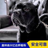 嘉祥县兴亿达优质特种卡斯罗犬幼犬养殖场报价