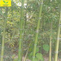 批发竹子苗 供应1 1.5 2公分规格 高2.5米3米竹子苗 富贵竹 早园竹