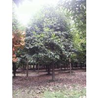 成都高杆天竺桂 树形好 自产自销