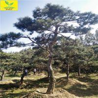 泰山造型景松 造型小松树盆景 规格齐全 本地货源 质量优
