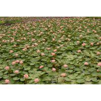 大量出售睡莲苗找境美水生植物种苗基地18833230022