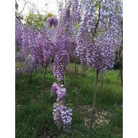 江苏紫藤种植基地 1-2-3-4-5公分紫藤树价格通报