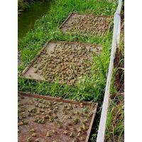 达州青蛙养殖批发|南充鲜活生态青蛙供应|欢迎提前订购
