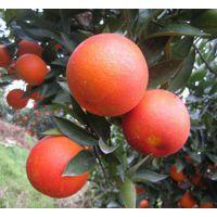 广东大量血橙的树苗出售_广东血橙的树苗大概在哪里买_广东血橙的树苗基地