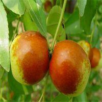 冬枣枣树苗品种供应价格