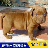 嘉祥县兴亿达正宗血统比特犬幼犬养殖场报价