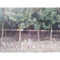 南京广玉兰价格 广玉兰树多少钱一棵 20公分广玉兰产地多少钱