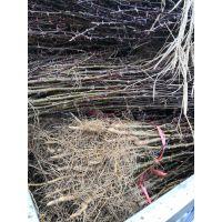 无刺花椒苗天涯海角主要地区送货上门