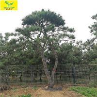 泰山景松价格 长期大量供应低价景松 优质景松供应基地 造型景松价格