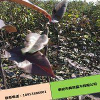 早红酥梨产地直销 品种纯正成活率高优质高产红梨树苗