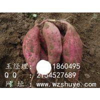 保定红薯叶品种北京553 涿州地瓜苗批发北京553
