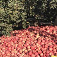 大量供应:红富士苹果