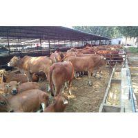 鲁西黄牛牛犊的饲养与管理