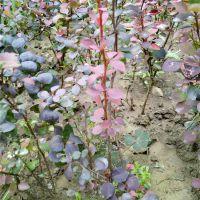 哪里有40公分高红叶小檗价格是多少 山东绿化苗种植基地 30至60公分红叶小檗