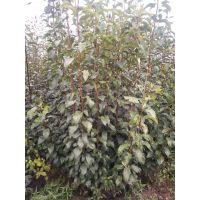 柿子树苗批发-1公分2公分日本甜柿苗-次郎柿子苗-富有柿子苗