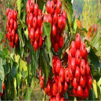 山楂苗品种供应 货源充足供应