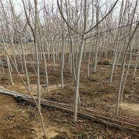 春季热卖美国红枫1 2 3 4公分树苗 根系发达 成活率高 云南占地美国红枫树苗 山东基地直销