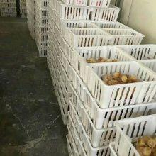 厂家直销雏鸡运输笼鸡苗筐鸭苗筐雏鸡周转筐