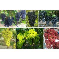 云南葡萄果树叶面肥有机钛酶动力促进剂开金厂家直销