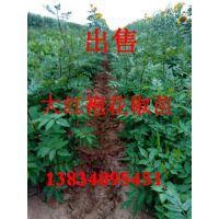 供应大红袍花椒苗、一年和两年花椒苗