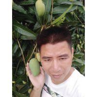 安宁芒果苗批发 桂七芒果苗地栽盘栽庭院种植宣威 提供各类芒果苗157777793411