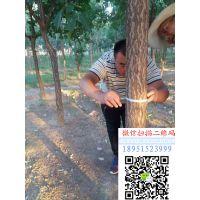 江苏地径6公分流苏树价格多少钱一棵报价65元每棵行道树流苏小苗基地
