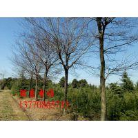 苗圃直销—江苏12公分18公分朴树多少钱一棵?