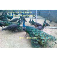 黑龙江蓝孔雀养殖场哈尔滨蓝孔雀养殖场大庆蓝孔雀养殖场