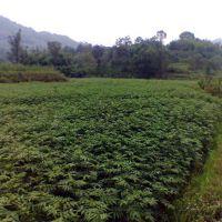 大红袍花椒苗 0.8-1公分花椒苗价格 易成活花椒苗